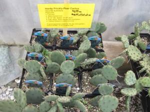 pear-cactus